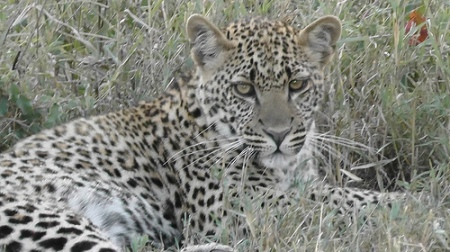 Tanzania_2011_leapard