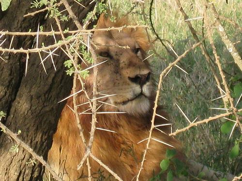 Tanzania_2011_lion